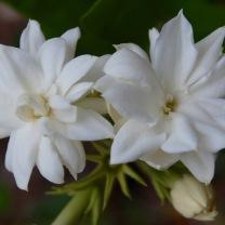 true jasmine
